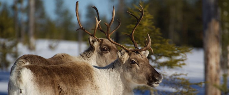 A pair of reindeers